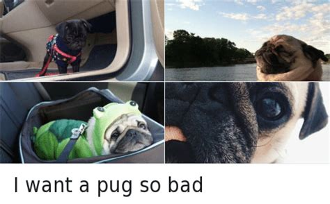 i want a pug pugs memes of 2017 on sizzle pugs