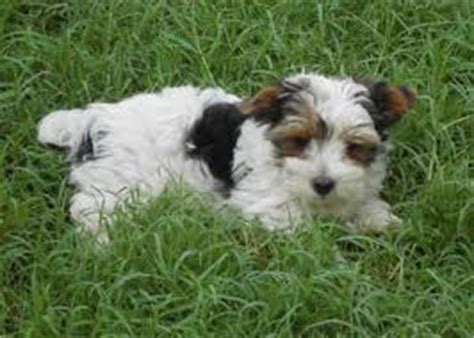 mastidoodle puppies for sale related keywords suggestions for mastidoodle