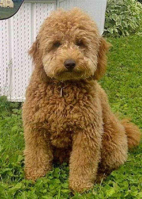 mini goldendoodles colorado 17 best images about pets i doodles on