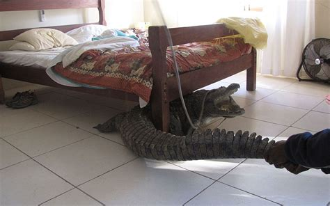 0007586779 the crocodile under the bed crocodile spends night under bed telegraph