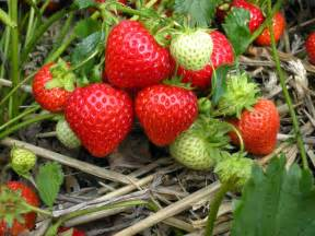how to take cuttings from strawberry plants the garden of
