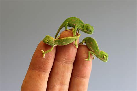 tiny tainy tiny bright green baby veiled chameleons hatch at sydney s