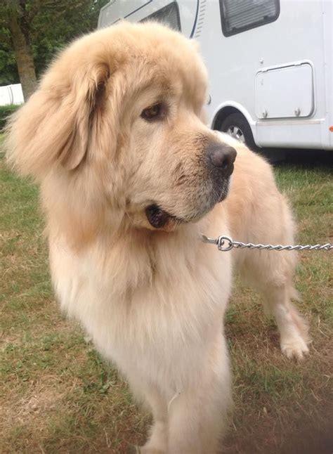 golden retriever newfoundland puppies 1000 images about golden retrievers on the golden and doggies