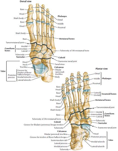 A Of Bones human skeleton skeletal system function human bones