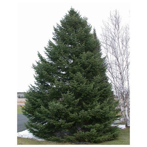 balsam fir abies balsamea 3 potted plants in 2 5 quot pot