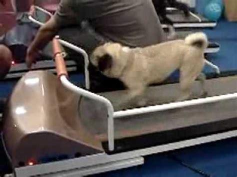 pug on treadmill pug running on a petrun pr700 treadmill