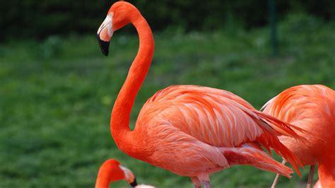 flamingo mobile wallpaper red flamingo desktop wallpaper hd for mobile phones and