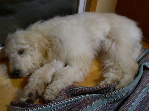 golden doodle puppy info puppy goldendoodle puppy information for