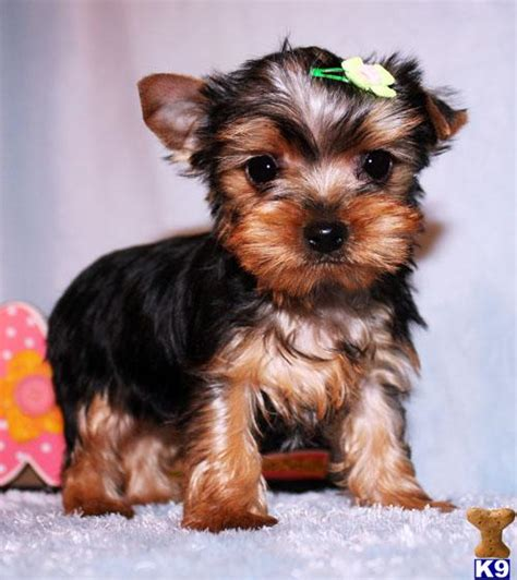 boy teacup yorkie names terrier puppy for sale micro tiny teacup yorkie puppy boy addy 5 years