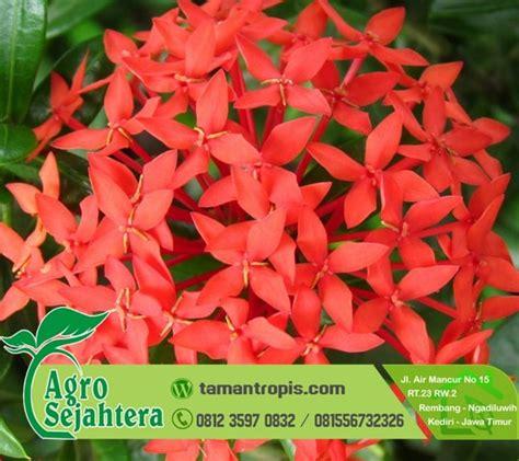 Bibit Bunga Indonesia jual bibit bunga asoka merah