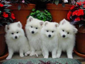 miniature american eskimo puppies for sale image gallery eskie