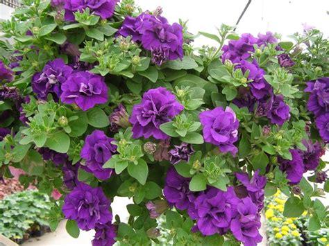 fiore surfinia petunia significato fiori