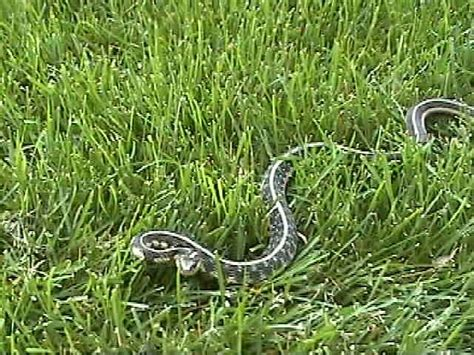 Garden Snake Chicago Kingsnake Reptile And Hibian Classifieds
