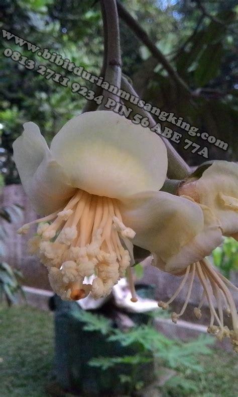 Bibit Durian Raja Musang durian raja kunyit bibit durian montong bibit durian