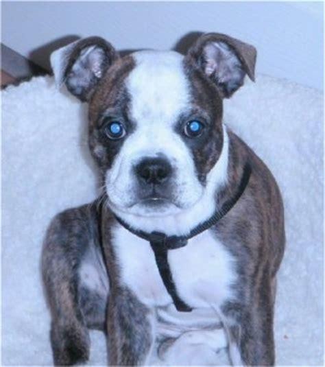 boston bulldog puppies boston bulldog breed information and pictures