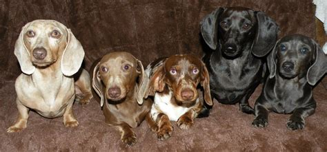 dachshund colors getalong doxie home