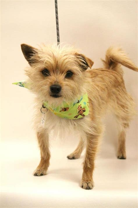 yorkie rescue tulsa petfinder adoptable terrier yorkie tulsa ok hugglesworth my