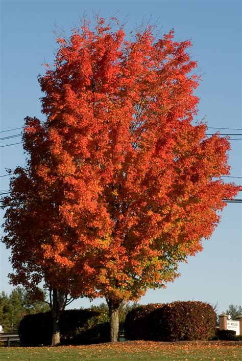 maple tree sugar maple trees for sale lowest prices