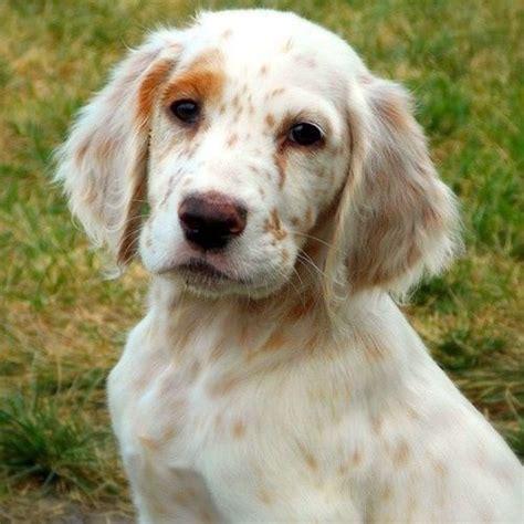 english setter dog kennels 79 best english setter love images on pinterest english