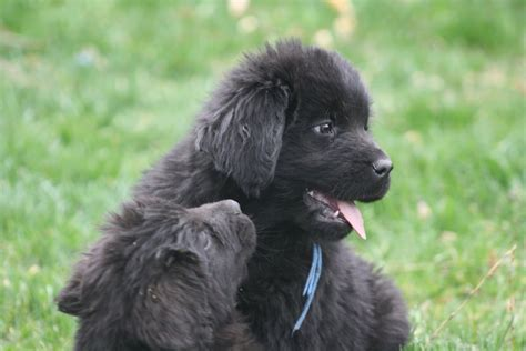 newfoundland puppies newfoundland puppies for sale na newfies