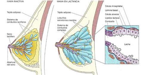 vestibulo anatomia femenina aparato reproductor femenino p 225 gina 2 monografias