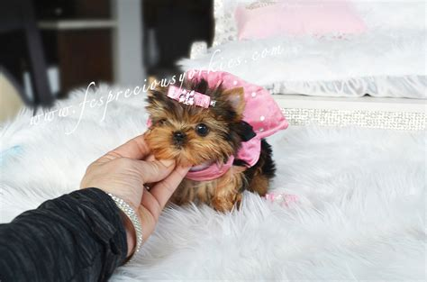 doll yorkies tiny yorkie with baby doll available fcs precious yorkies
