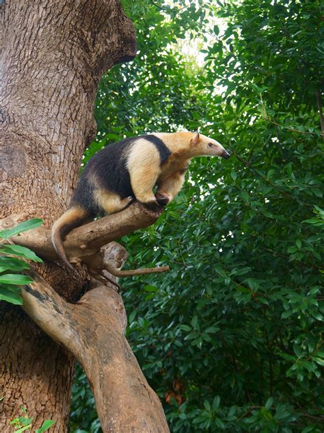 southern tamandua critterfacts