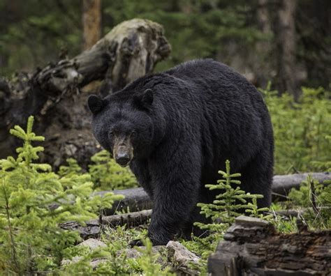Black Bears forest service issues warning about black bears in