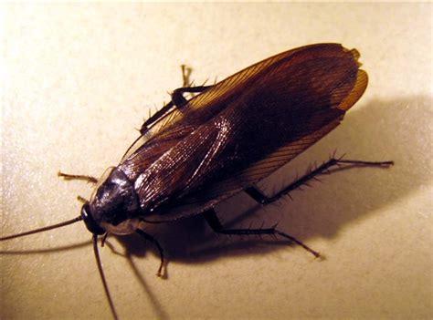 natural predator of bed bugs parcoblatta sp 171 landscape ipm