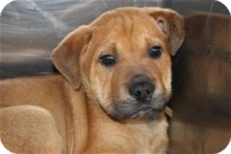 shar pei german shepherd mix puppies adopted puppy 19 marlton nj shar pei german shepherd mix