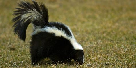 skunk spray a mix of these simple household items can get rid foul smelling skunk spray huffpost