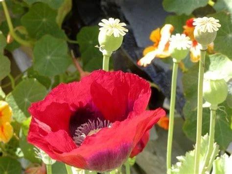 fiore di papavero papavero rosso fiori di co caratteristiche papavero
