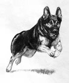 german shepherd pictures pics images and photos for