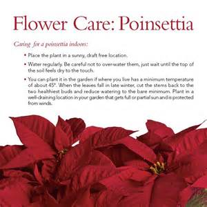 how to care for a poinsettia plant how to s and many