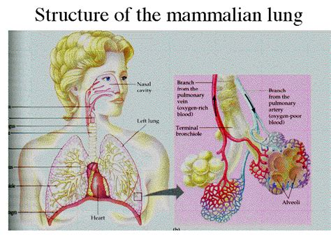 diagram of mammalian structure of the mammalian lung