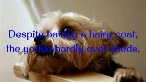 yorkie house tips how to potty a yorkie puppy yorkie house tips housebreaking yorkie