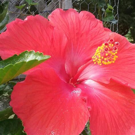 fiori hibiscus hibiscus fiori grande hibiscus uploaded by pilai