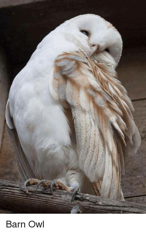 White Owl Meme - 25 best memes about barn owl barn owl memes