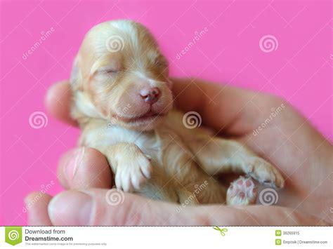 havanese de reci 233 n nacido havanese de bichon foto de archivo libre de regal 237 as imagen 36265915