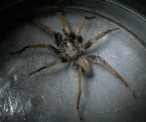 California Spider Wafer Lid Trapdoor Spider In California October