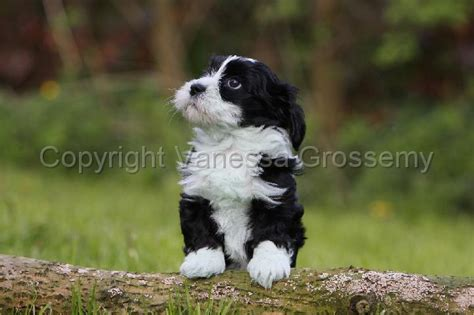 havanese vs bichon photos of maltese vs bichon frise breeds picture