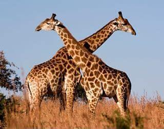 imagenes reales de jirafas la jirafa caracterisiticas vida reproduccion que come