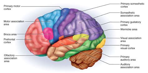 motor association area flashcards ch 19 gross anatomy of the brain and cranial