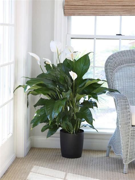 indoor plants  clean air   light