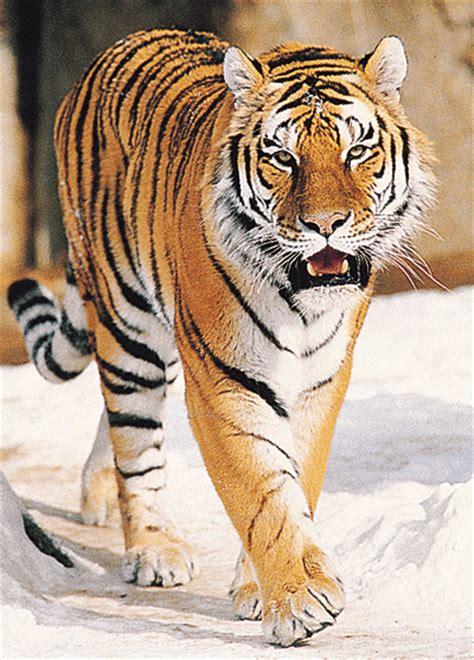 gambar wallpaper anak harimau gambar harimau dunia binatang