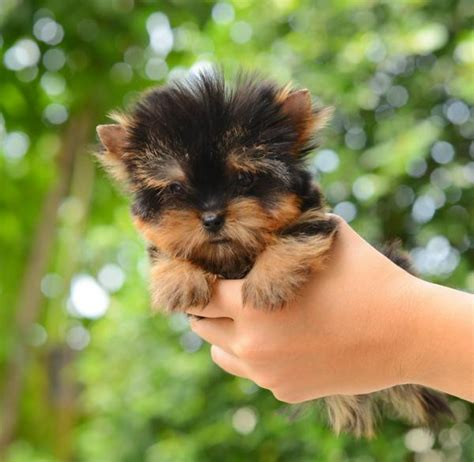 images of teacup dogs what are teacup dogs everything you need to