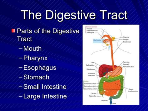 The Digestive System Powerpoint Digestive System Powerpoint