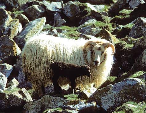 guide  sheep breeds