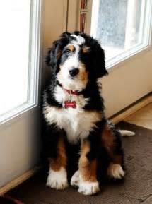 pipers posh puppies best 25 poodle mix ideas on australian shepherd mix australian shepherd