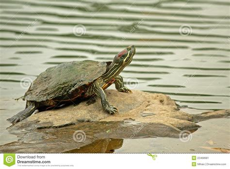 Heat L For Aquatic Turtles by Eared Slider Turtle Posing On Rock Stock Image Image